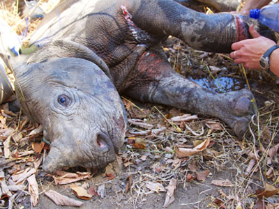 baby-black-rhino-snare-injury