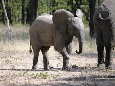 baby-elephant-poaching-malawi-snare