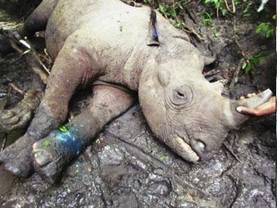 baby-rhino-snare-injury-malawi