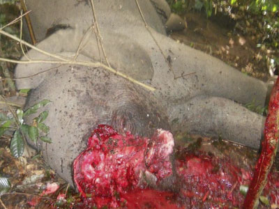 dead-baby-elephant-blood-ivory