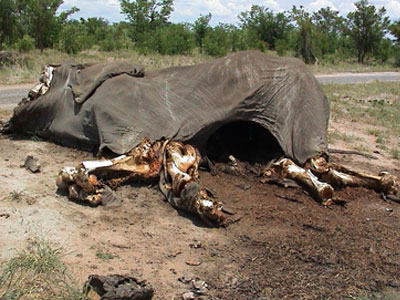 dead-elephant-poaching-africa