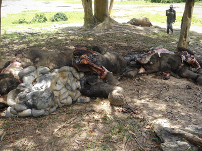 elephant-killed-poaching-hunting