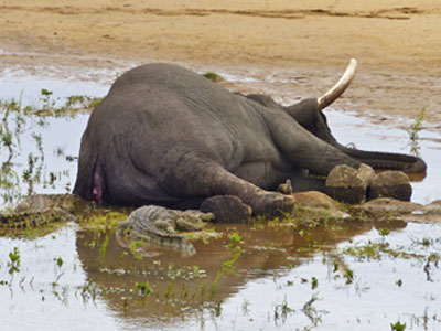 elephant-shot-africa-poaching