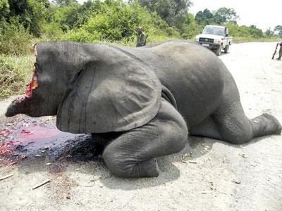 elephant-shot-chainsaw-ivory