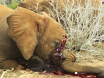 elephant_ivory_tusks-poached