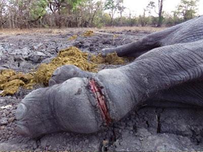 elephant_snare-injury