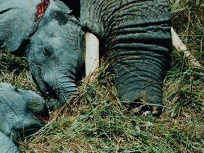 elephants-killed-trunks-eaten-poaching