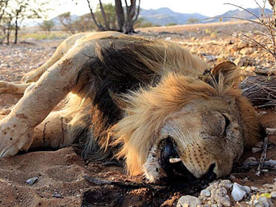 lion-killed-poaching-africa