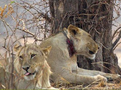 lion_snare-injury-poaching