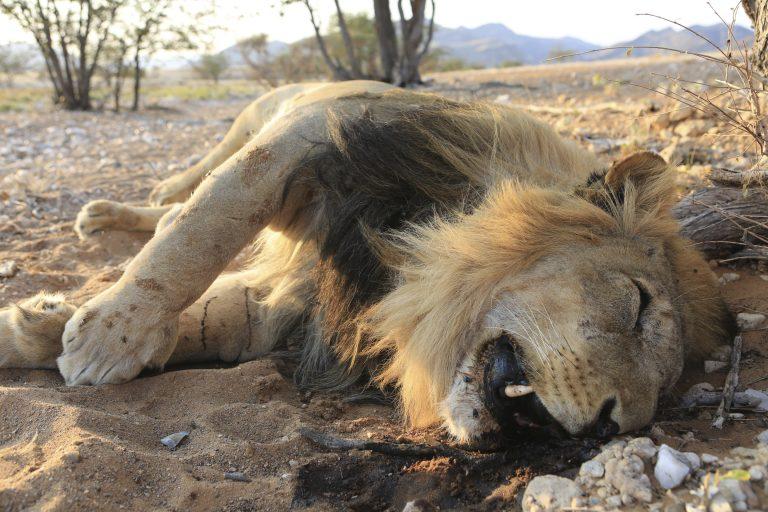 Dead Lion, Killed by Poachers