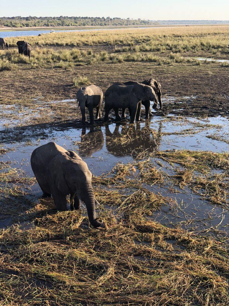 elephants botswana mark hiley
